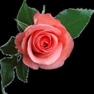 Rose-tulip